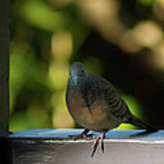 Hawaiian Mourning Dove Poster