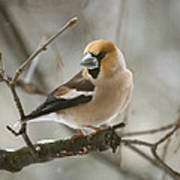 Hawfinch Poster