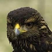 Hawk 1 Poster