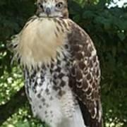 Hawk 2 Poster