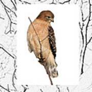 Hawk Framed In Branch Outline Poster