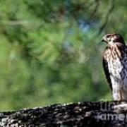 Hawk In Tree Poster
