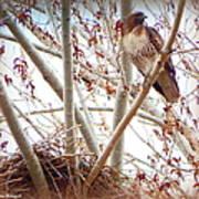 Hawk Nesting IIi Poster