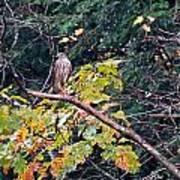Hawk On A Limb Poster