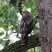 Hawk On Alert Poster