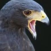 Hawk Portrait Poster