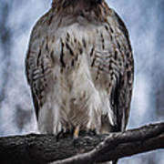 Hawk Red Tailed Poster