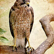 Hawk With Fish Poster