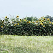 Hay Bales And Sunflowers Poster