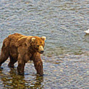 Head Grizzly Bear And Sea Gull In Moraine River In Katmai Np-ak  Poster