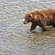 Head Grizzly Bear With Intense Fishing  Focus For Salmon In Moraine River In Katmai Np-ak Poster