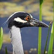 head shot - Yellow crowned Night Heron Poster
