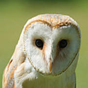 Headshot Of Common Barn Owl Poster
