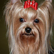Headshot Of Show Yorkshire Terrier Poster