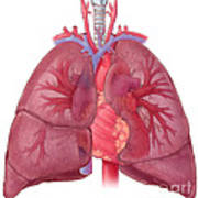 Heart Illustration, With Pulmonary Veins Poster