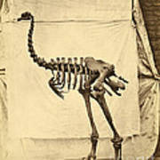 Heavy Footed Moa Skeleton Poster
