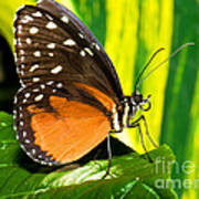 Hecale Longwing Butterfly Poster