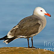Heermanns Gull On Rock Poster