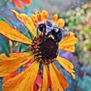 Helenium Bumble Bee Poster