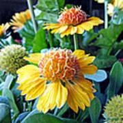 Helenium Flowers 1 Poster