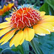 Helenium Flowers 2 Poster