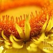 Helichrysum Bracteatum Named Strawburst Yellow Poster