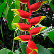 Heliconia Rostrata 2 - A Blooming Heliconia Rostrata Flower Poster