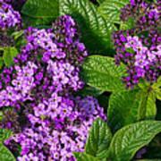 Heliotrope Flowers In Bloom Poster