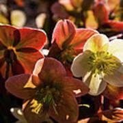 Helleborus Backlight Blossoms Poster