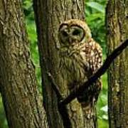 Hello Barred Owl Poster