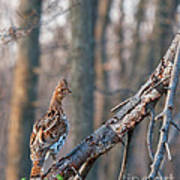 Hen Ruffed Grouse On Roost Poster