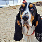 Henry The Basset Poster