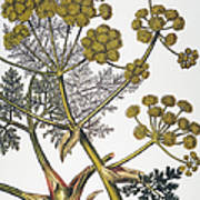 Herbal: Fennel, 1819 Poster