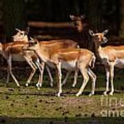 Herd Of Blackbuck Antilopes In A Dark Forest Poster