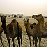 Herd Of Camels In A Farm, Abu Dhabi Poster