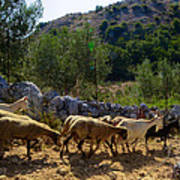 Herd Of Sheep In Tuscany Poster