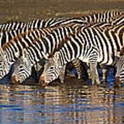 Herd Of Zebras Drinking Water Poster