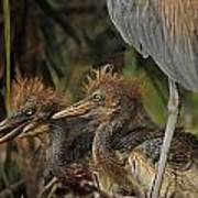Heron Chicks Poster