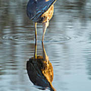 Heron Looking At Its Own Reflection Poster
