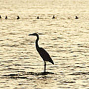 Heron Standing In Water Poster
