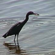 Heron With Fish Poster