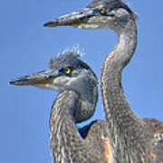 Herons On The Lookout Poster