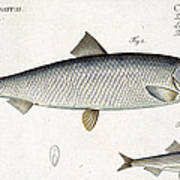 Herring And Sprat Plate Xxix Poster