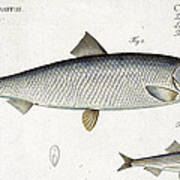 Herring Poster by Andreas Ludwig Kruger