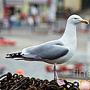 Herring Gull At The Harbour Poster