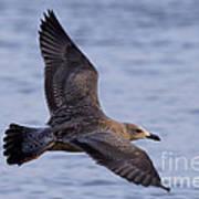 Herring Gull In Flight Photo Poster