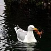 Herring Gull With Crab Poster