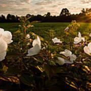 Hibiscus At Sunrise  Poster