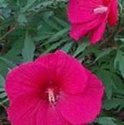 Hibiscus Flower Times Two Poster