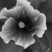 Hibiscus In Black And White Poster